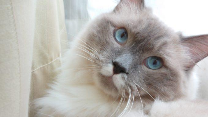 2019年07月30日11時27分45秒撮影。ラグドール・ブルーポイントミテッドの猫。