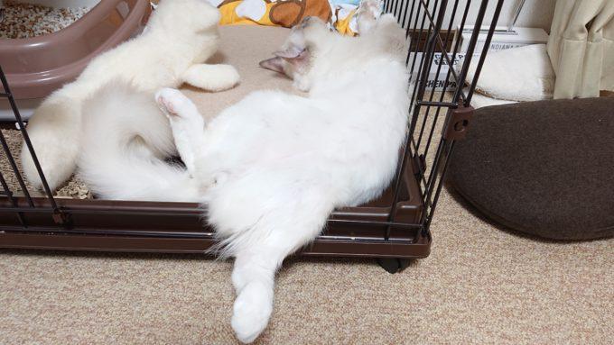 ひっくり返って眠る、ラグドールのプリューシュ。お腹を見せて眠る。2018年09月19日17時24分35秒撮影。