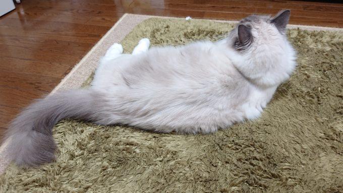 2020年04月18日21時50分24秒撮影のラグドール・ブルーポイントミテッドの猫。