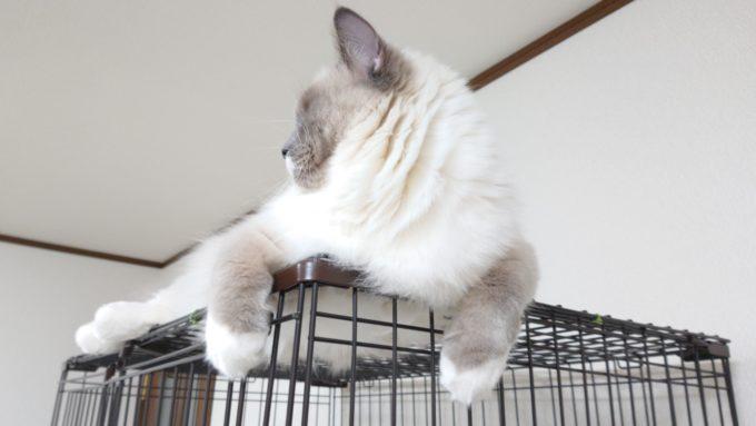 2020年04月12日10時15分06秒撮影のプリューシュ。ラグドール・ブルーポイントミテッドの猫。