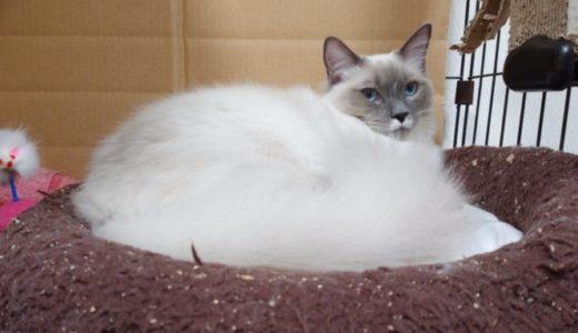 ラグドール(猫)の毛について ~硬さ・柔らかさの観点から~