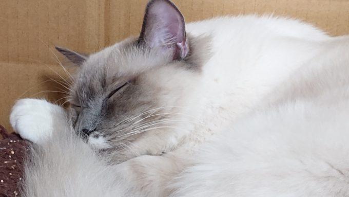 スヤスヤ眠る、ラグドールのプリューシュ、2018年12月24日15時43分20秒撮影。