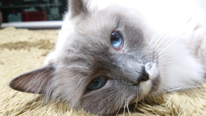 2020年04月18日21時45分20秒撮影のプリューシュ。ラグドール・ブルーポイントミテッドの猫。