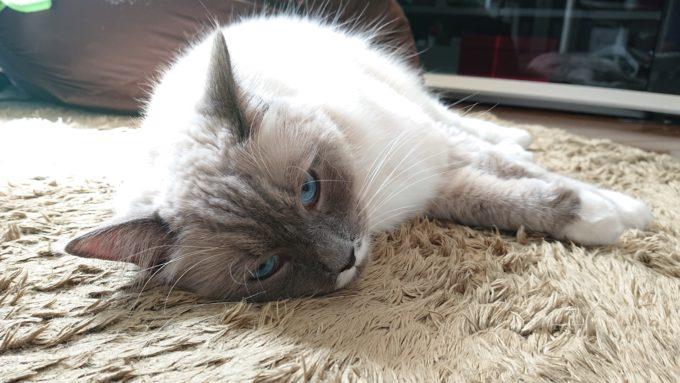 2020年03月12日12時19分21秒撮影のプリューシュ。ラグドール・ブルーポイントミテッドの猫。