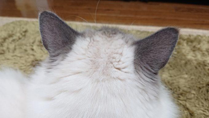 2020年04月18日21時50分37秒撮影のプリューシュ。ラグドール・ブルーポイントミテッドの猫。