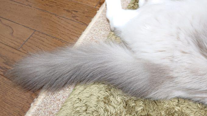 2020年04月18日21時59分11秒撮影。プリューシュのしっぽ。ラグドール・ブルーポイントミテッドの猫。