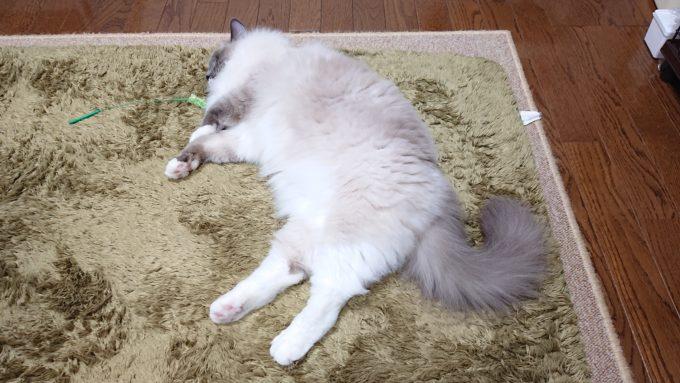 2020年04月18日17時55分33秒撮影のプリューシュ。ラグドール・ブルーポイントミテッドの猫。