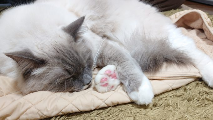 2020年03月05日13時45分11秒撮影のプリューシュ。ラグドール・ブルーポイントミテッドの猫。