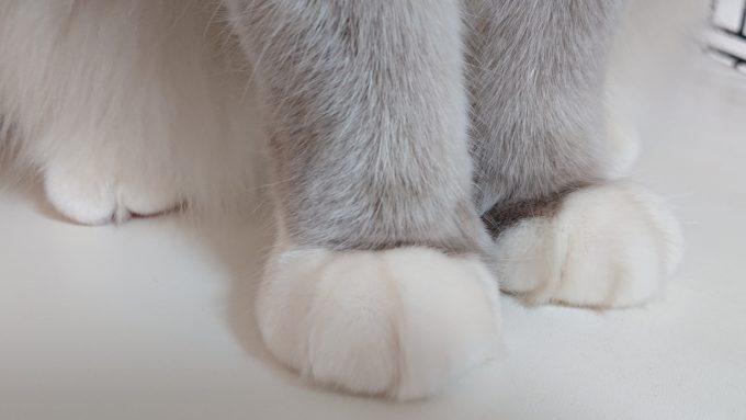 2019年04月04日11時11分09秒撮影。ラグドール、ブルーポイントミテッドの前足の画像。