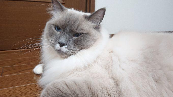 2020年04月17日21時56分59秒撮影のプリューシュ。ラグドール・ブルーポイントミテッドの猫。