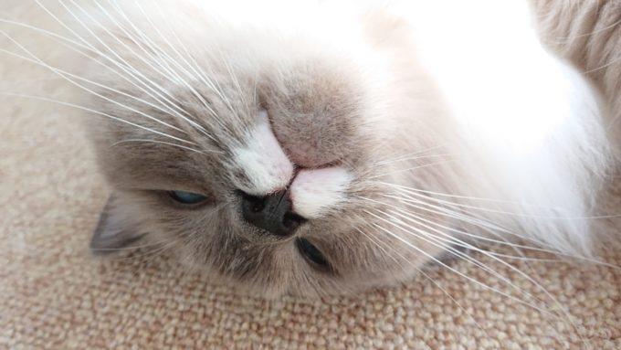 2020年05月07日12時46分01秒撮影のプリューシュ。ラグドール・ブルーポイントミテッドの猫。