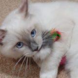 キャティーマン 七転び八起きで遊ぶ猫、2018年09月03日09時20分24秒撮影。