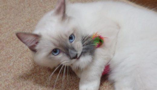 【猫のおもちゃ】キャティーマン 七転び八起き おきあがりこぼしをレビュー!