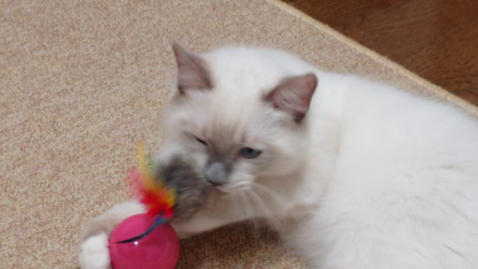 キャティーマン 七転び八起きで遊ぶ猫、2018年09月03日09時20分16秒撮影