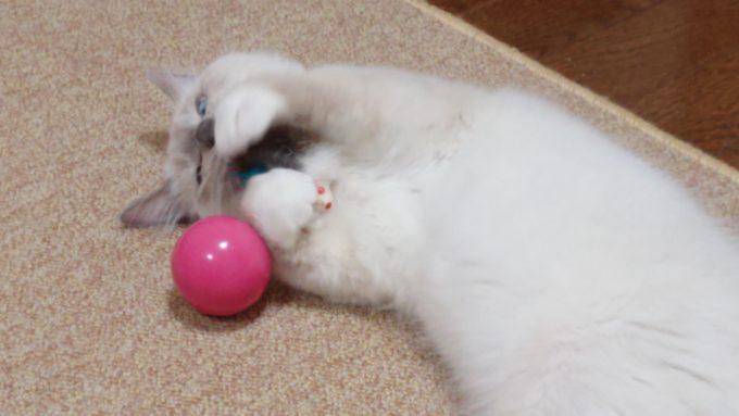 キャティーマン 七転び八起きで遊ぶ猫、2018年09月03日09時20分14秒撮影