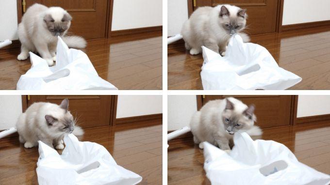 レジ袋に噛みついて引っ張ろうとする猫の画像。