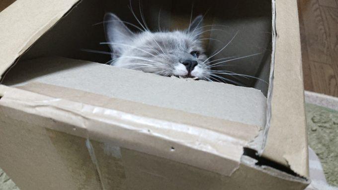 段ボール箱に齧りつく猫の様子。