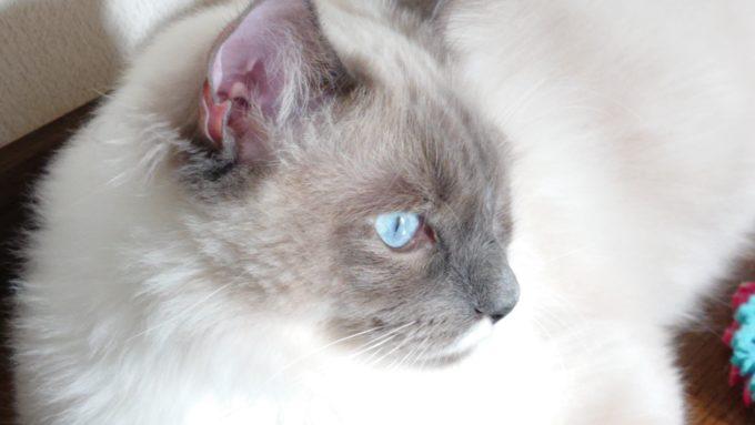 遠くを見ているラグドール(子猫)の画像。名前はプリューシュ。