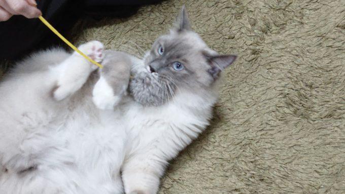 猫じゃらしを噛んだまま、何度も猫キックをする猫の画像。