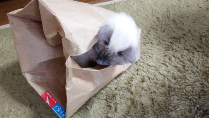 紙袋の穴から顔をのぞかせる猫の画像。