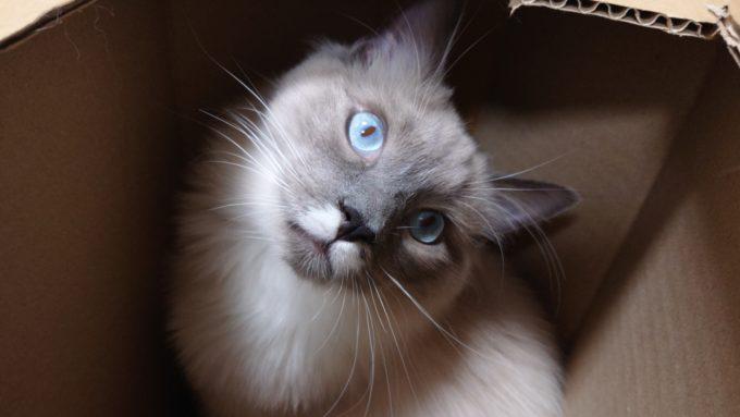手作り猫BOX(段ボール製)から見上げているラグドール。