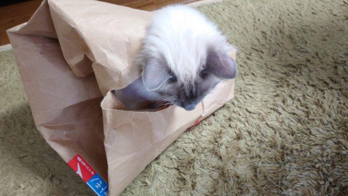 紙袋の中から外を見る猫の画像。飛び出すかどうか迷っている様子。