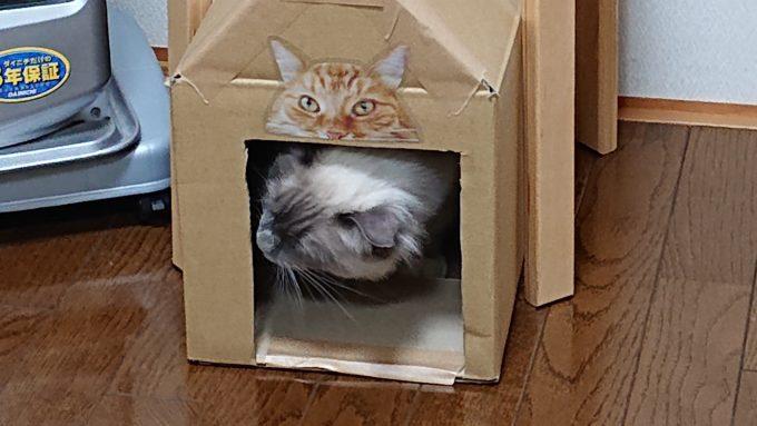 箱の中から首を出して外を見る猫。