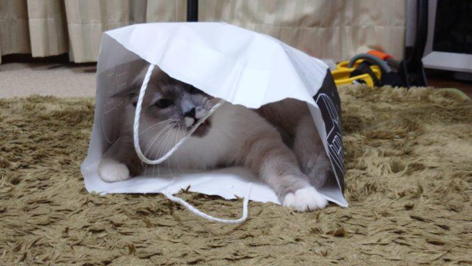 紙袋の持ち手を噛んで引っ張る猫の画像。