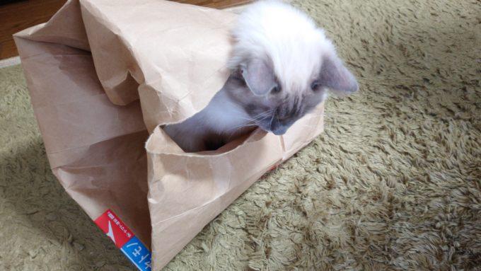 紙袋の穴から顔を外に出す猫の画像。