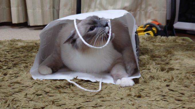紙袋の持ち手をうまく噛めない猫の画像。
