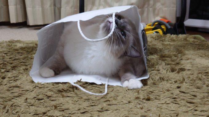 何度も紙袋の持ち手に噛みつく猫の画像。