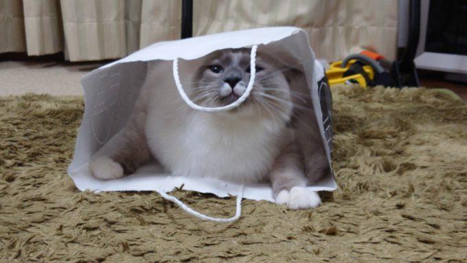 紙袋の持ち手の匂いをかぶ猫の画像。
