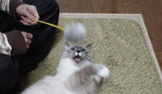 キャティーマン じゃれ猫遊びをレビュー! ~グレーのポンポン編~