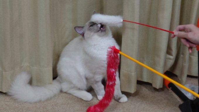 2個のおもちゃで遊んでいる最中の猫。猫じゃらしに気を取られている様子。
