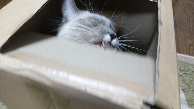 段ボール箱を噛んで引き千切ろうとする猫。
