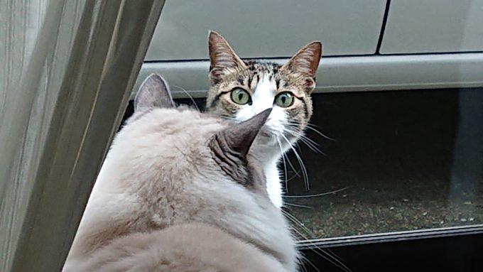見つめ合うラグドールと野良猫の画像。