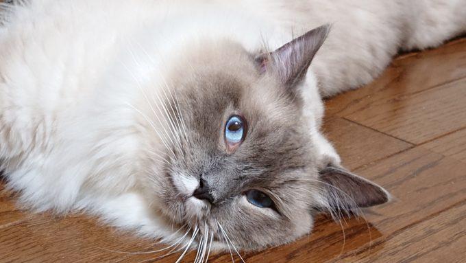 飼い主に向けて目線を向けるプリューシュの画像。