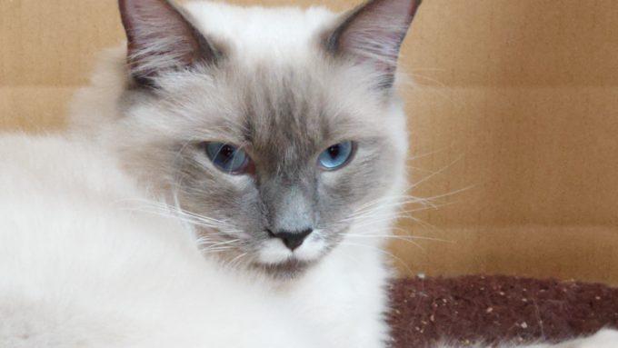 眼を見開いて驚く猫の画像。