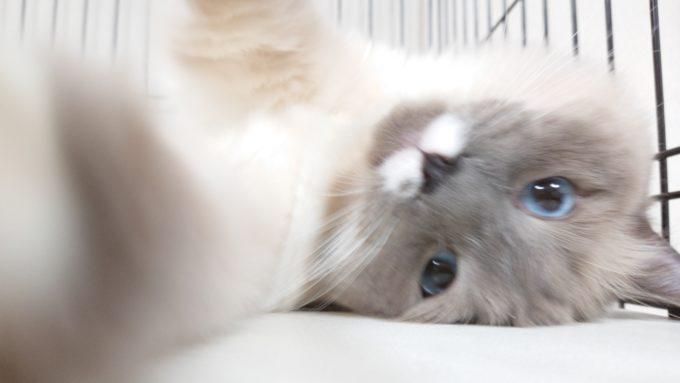 こちらを見て猫パンチをするプリューシュの画像。