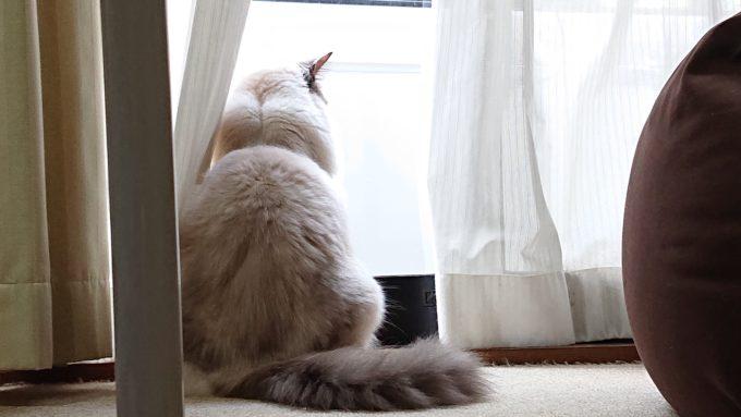 野良猫が来ていないかをチェックするラグドールのプリューシュ。猫の背中を撮影した画像。