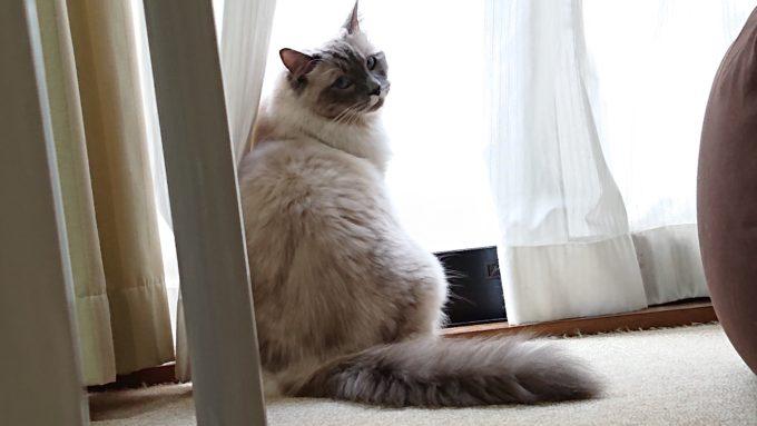 窓際チェックをするラグドール・プリューシュの画像。