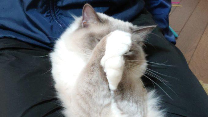 手を合わせるラグドール・プリューシュの写真。