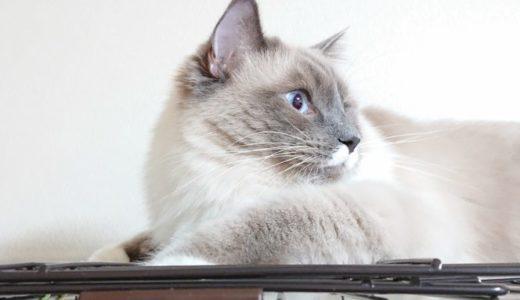 毛玉の絡まりと毛玉ケア対策(ブラッシング・猫用電動バリカン)について