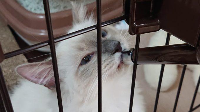 ラグドールの子猫がお水を飲む姿。給水機に口をつけている。