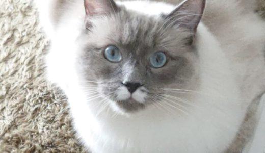 猫(ラグドール)に首輪を着けるべきか否かについて考える