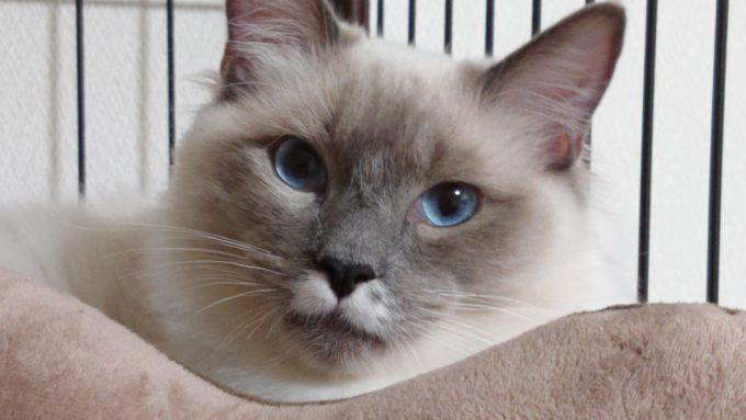 真っ直ぐこちらを見てくるラグドールの画像。青い眼をしている。
