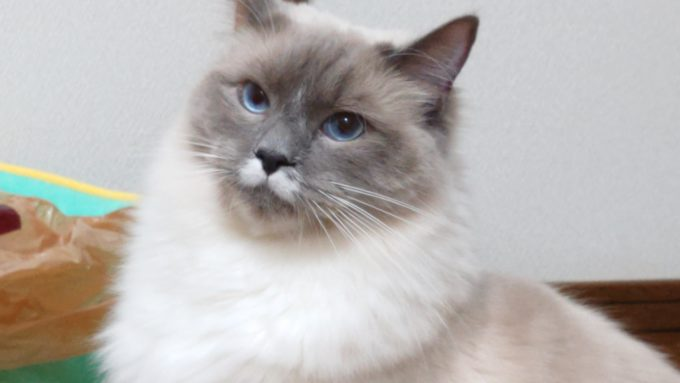 眼で飼い主に訴えかけてくる猫の画像。