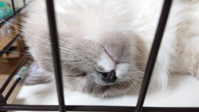 ケージの中で眠るプリューシュ。顎下の毛が黒く染まっている。