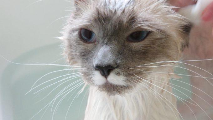 ふてくされる猫の顔の写真。片目を少し閉じている。