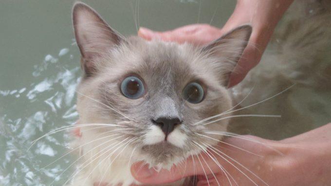 お風呂が嫌いな事を眼で訴えかけてくる猫の画像。